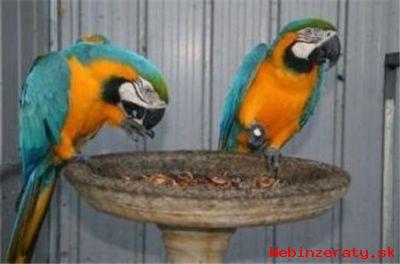 Prodám Krásná Zlatá A Modrá Papoušek