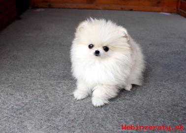 Vysoko kvalitné Pomeranian šteňa na pr