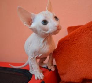 Don sphynx - bezsrsté mačiatka
