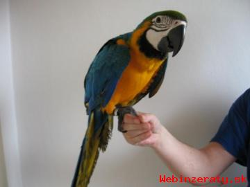 Ara ararauna papoušci
