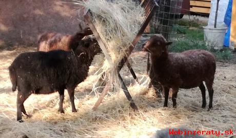 Miniovečky- Quessanské ovečky