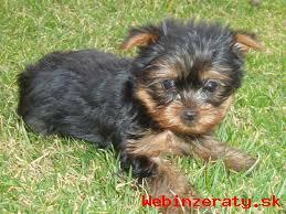 Predám krásne šteniatka Yorksirsky terie