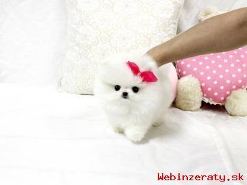 Pomeranian šteňa na nový domov