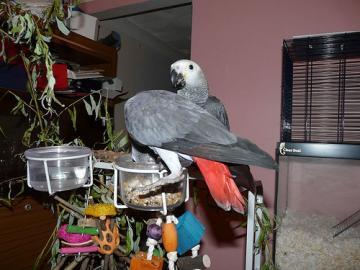 Sladké kongo šedej papagáje.