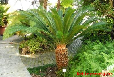 Cycas Revoluta - sazenice