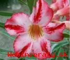 Adenium Harry Pottter - semena