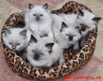 Inzercia zvieratá > Ragdoll mačiatka na predaj.
