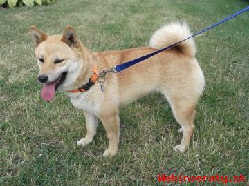 Shiba Inu - šteniatka na predaj