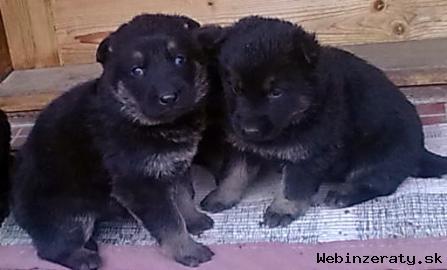 Predám krásne šteniatka nemeckého ovčiak