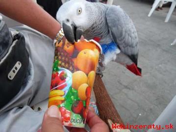 Krásna Africké šedé papoušci pro prodej