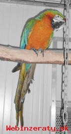 papagáj papagáje na predaj