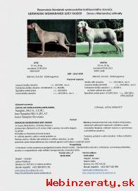 Ponúkam rezerváciu šteniatka weimaranera