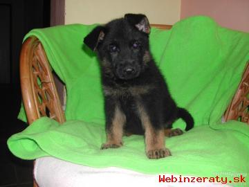 predám šteniatka nemecký ovčiak