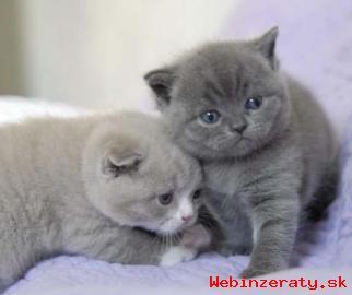 Mačiatka britská mačka k dispozícii