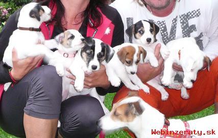 Predáme šteniatka Jack Russell teriér