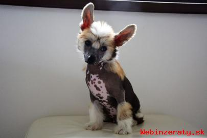 Čínský chocholatý pes - top štěňátka