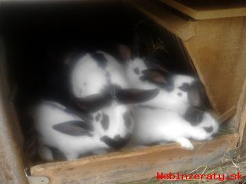 Predávam králiky.