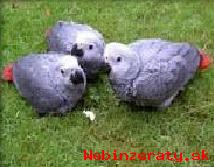 Mláďatá papagája sivého (žako kongo)