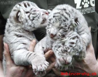 exotické biely tiger mláďatá na predaj