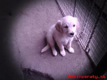 krásne mohutné šteniatka Zlatý retriever