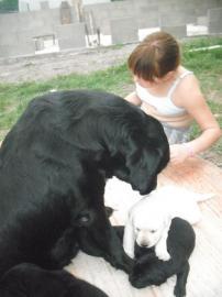 Krasne šteniatka Labradora
