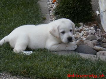 Labrador Retriever  - Šteniatka s PP