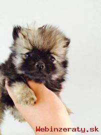 Sladké a zdravé Šálek Pomeranian štěňata