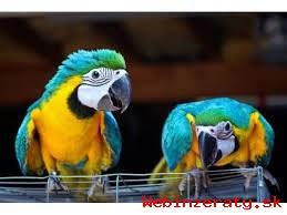 Modrý a zlatý papagáj na prijatie.