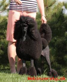 Královský pudl - černá štěňata s PP