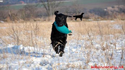 Nabízím krytí krásným a úspěšným psem