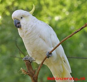 Inteligentné kakadu Papagáj