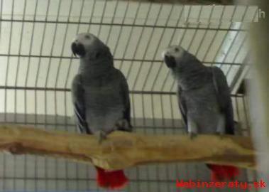 Nabídka Africké šedé papoušci pro prodej
