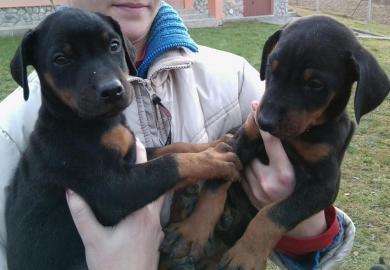 Doberman - Predáme čistokrvné šteniatka