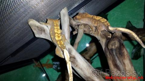 Predám Rhacodactylus Ciliatus