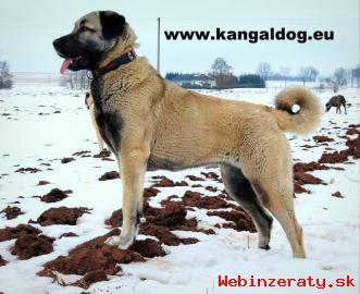 Anatolský pastevecký pes - Kangal