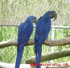 ručné krotká Hyacint papagáj s klietkou