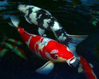 predam okrasne ryby do jazierka koi kap