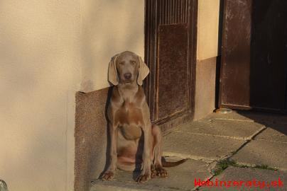 Predám psíka weimarského stavača.