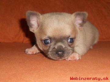 predám krásne šteniatka čivava