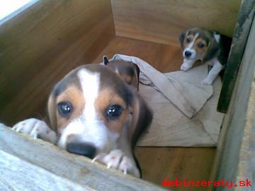 Beagle,bigel,bigl
