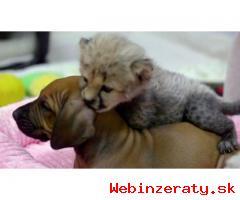 veľké mačky k dispozícii (gepard a tig