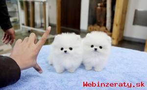 Šálek Pomeranian štěňata k dispozici