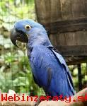 Nádherná hycinth papagáj