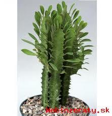 Mimoriadna akcia na kaktusy kus za 0,70