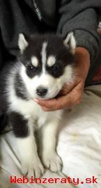 Registrovaní Sibírsky husky šteňatá