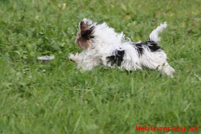 Domov vyškolení šálka Yorkie šteňatá ava