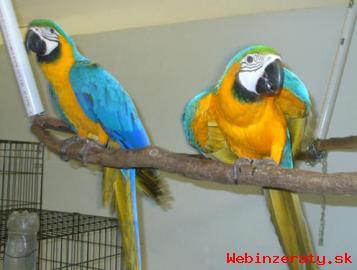 Zlatá A Modrá Papoušek papoušci pro prod