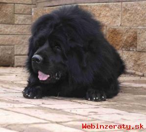 Prodám štěňátka Tibetské dogy s PP