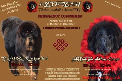 Tibetská doga - štěně s PP