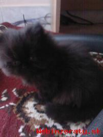 Predám perzskú mačičku